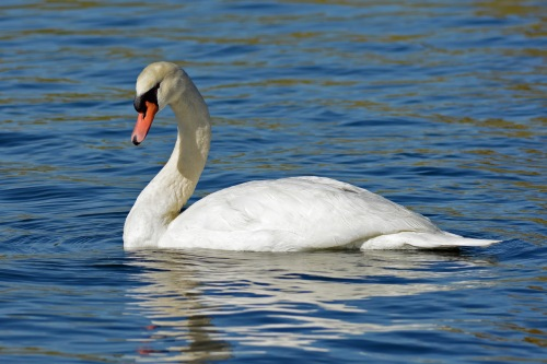Mute Swan 12.15