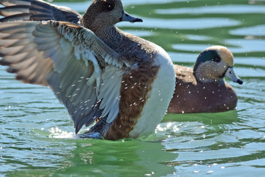 Wigeon Couple