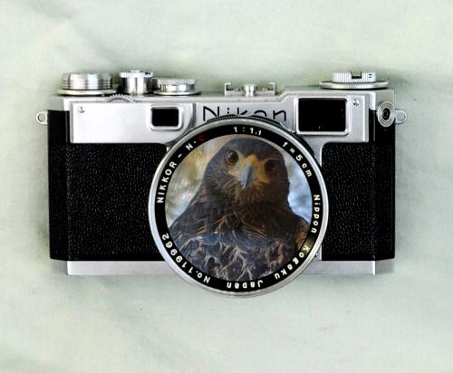 Nikon Camera Hawk