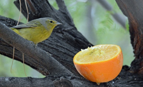 OCWA Orange crop