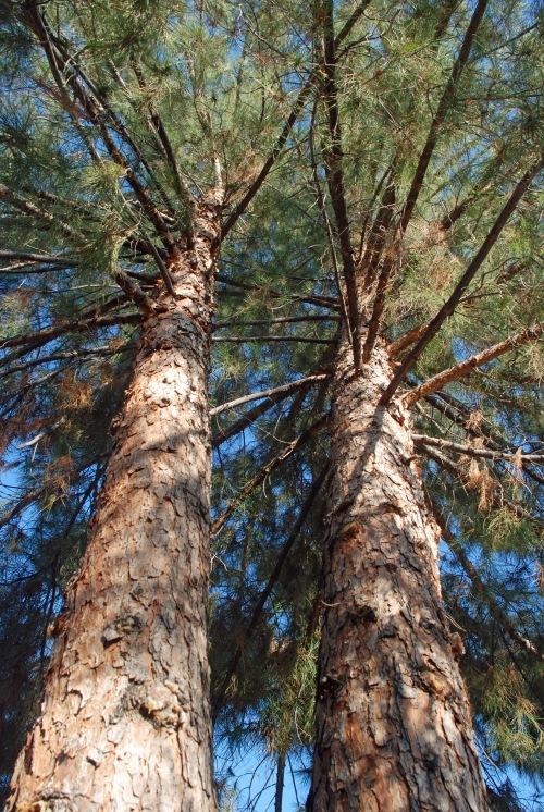 Pine in Yard