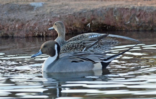 Pintail Couple