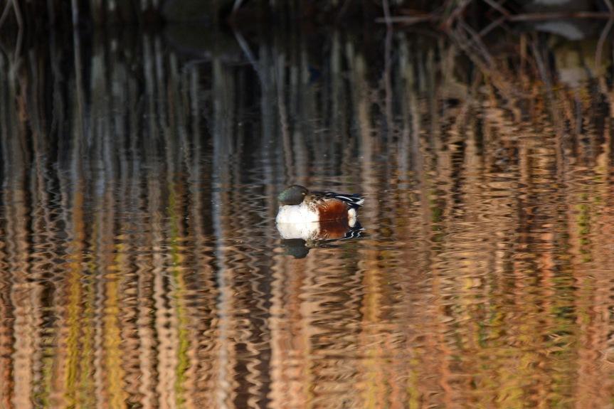 Shoveler Reeds