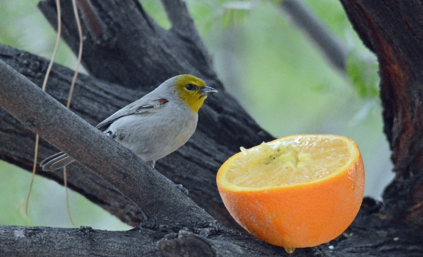 Verdin Orange crop