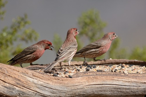 3 Finches