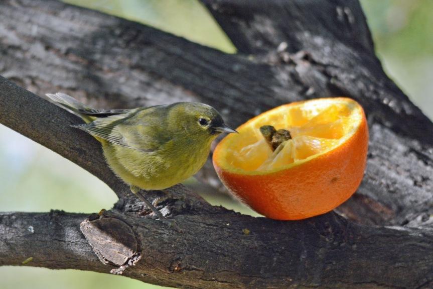 OCWA Orange 5 2.2.16