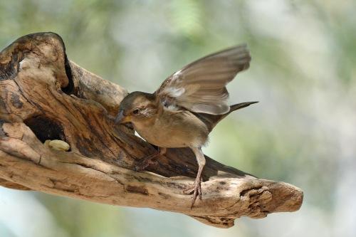 Sparrow F Fly_edited-1