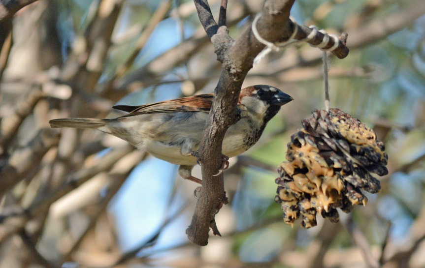 Sparrow Pine Cone