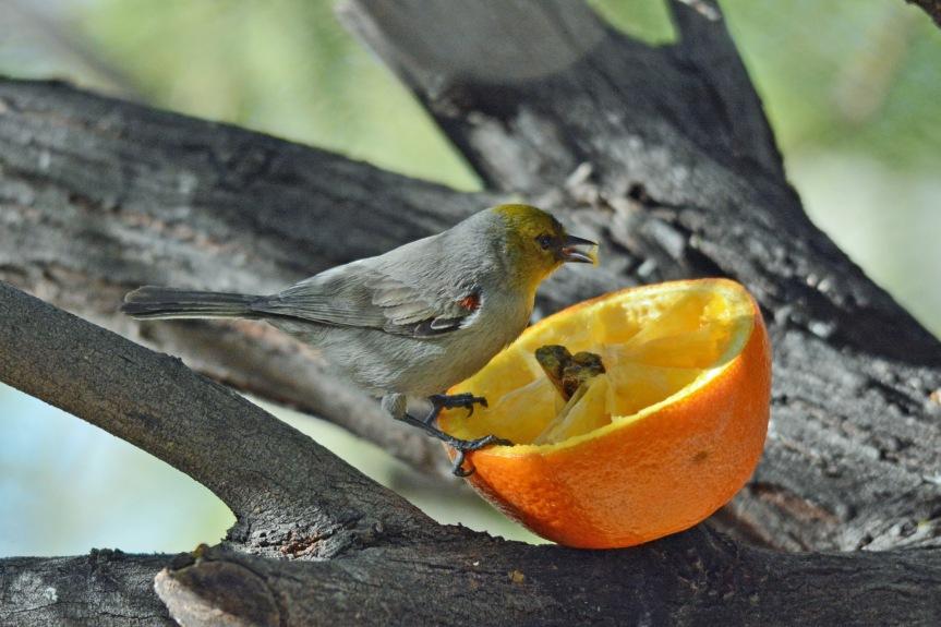 Verdin Orange 2.2.16