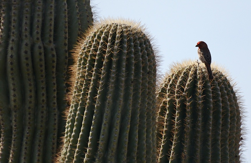 Finch Cactus