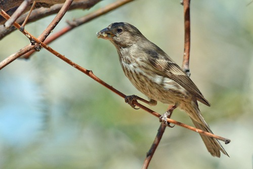 Finch Female