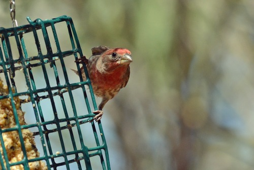 Finch Male 3.24.16