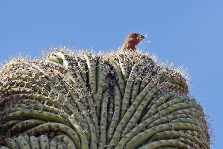 Finch Nest Build