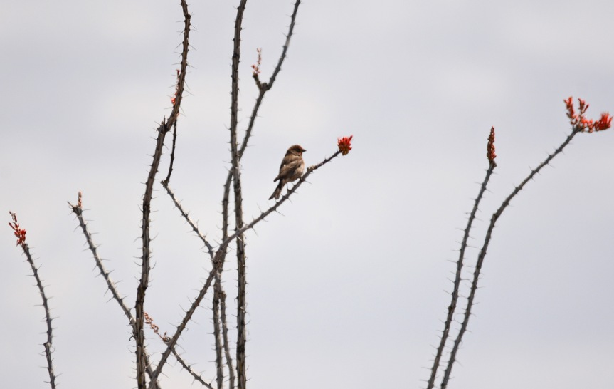 Finch Ocotillo