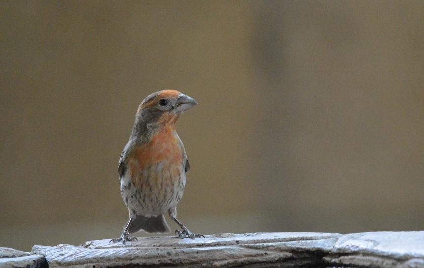 Finch Orange