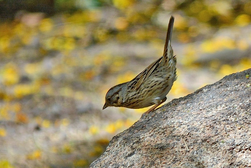 Lincoln's Sparrow 2