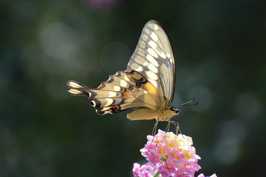 Swallowtail 3.6.16_edited-1
