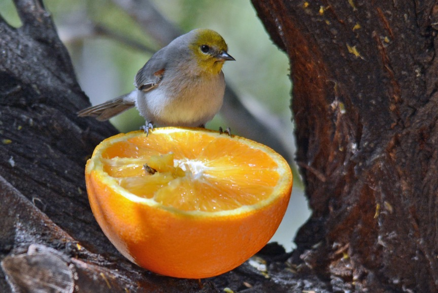 Verdin Orange 3.8.16