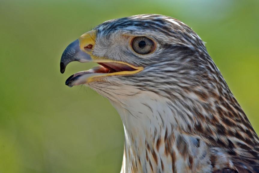 F Hawk 1
