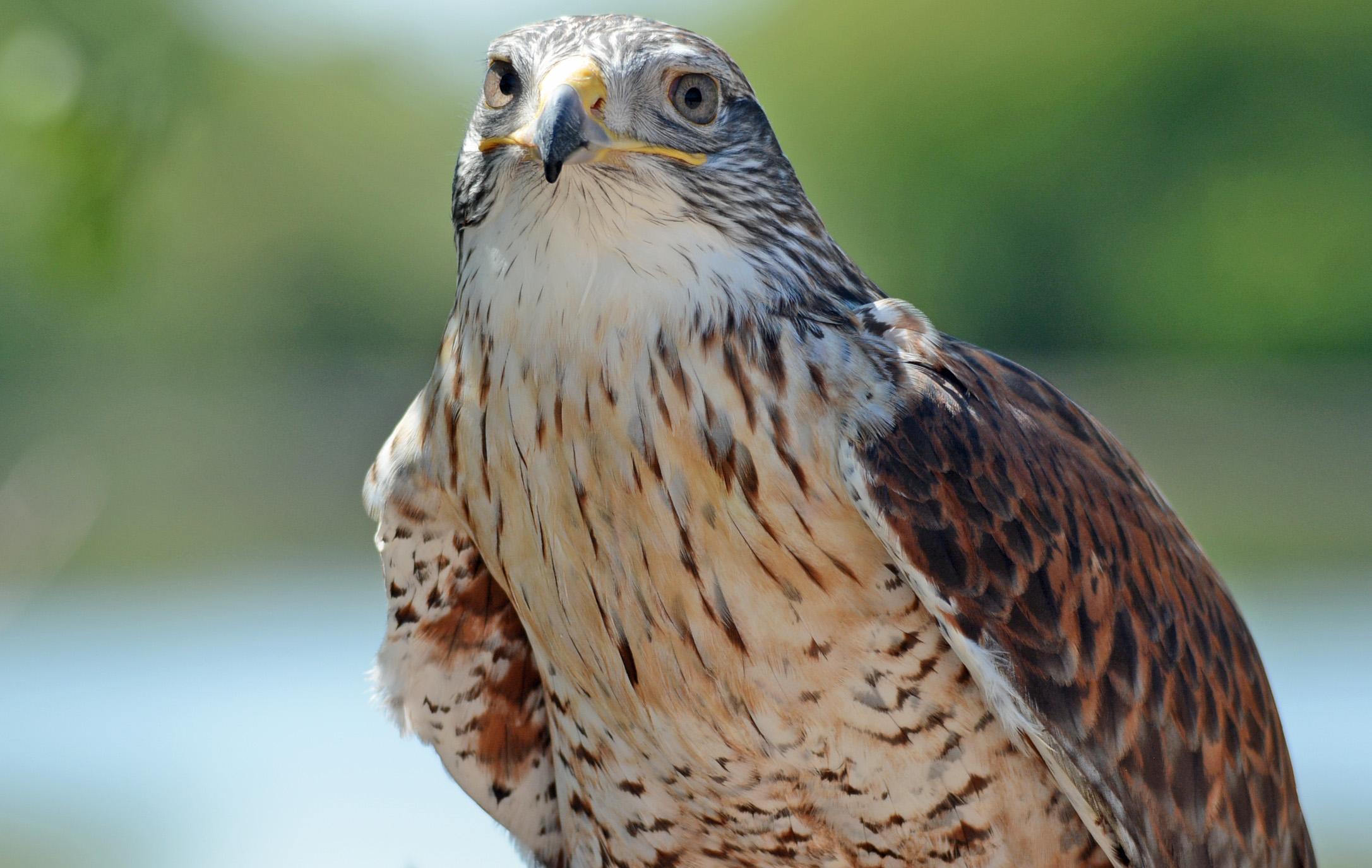 F Hawk 2