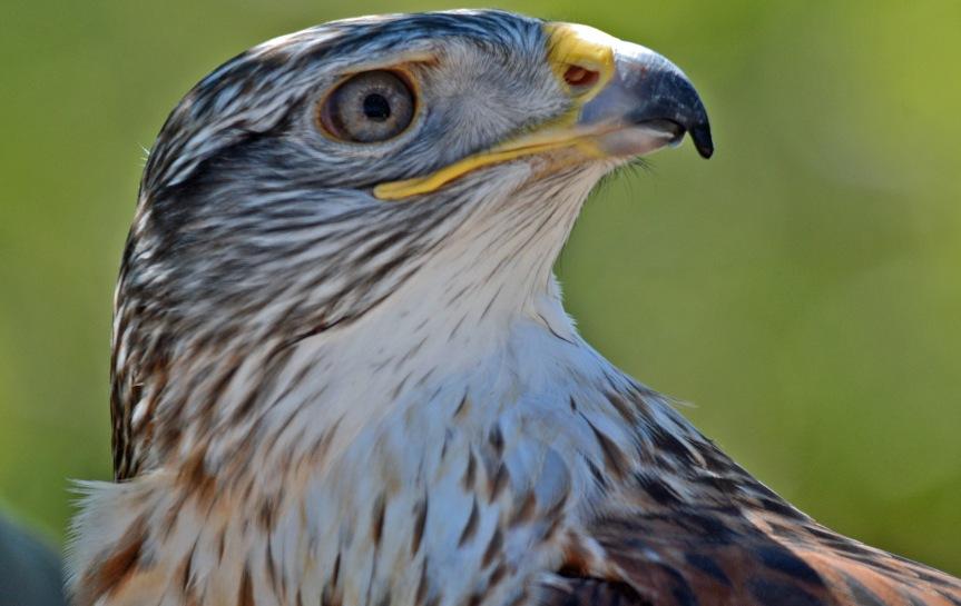 F Hawk 3