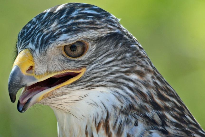 F Hawk 4