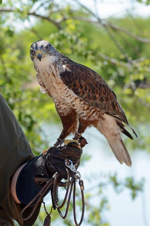 F Hawk Full