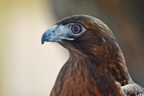 RT Hawk 1