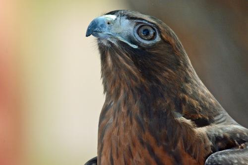 RT Hawk 2