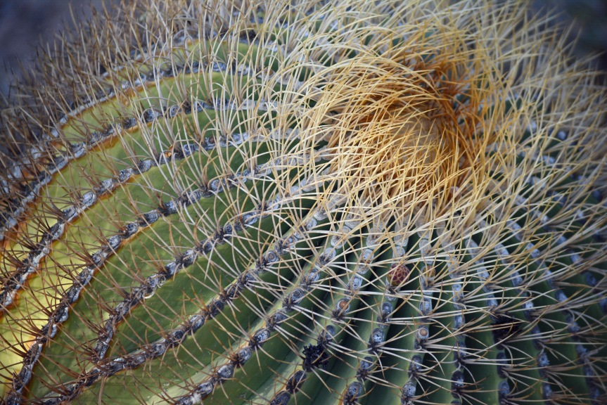 Santa Catalina Barrel Cactus