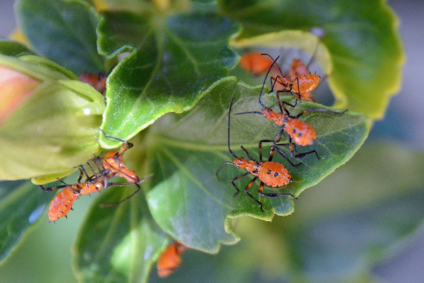Leaf-footed Bug Nymphs