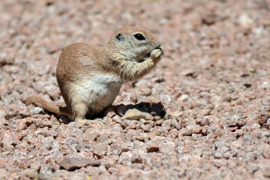 RT Ground Squirrel