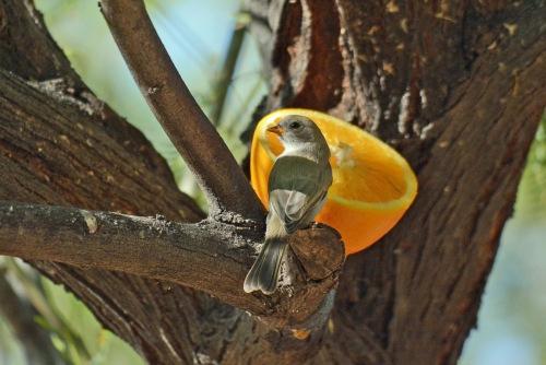 Verdin Baby Orange