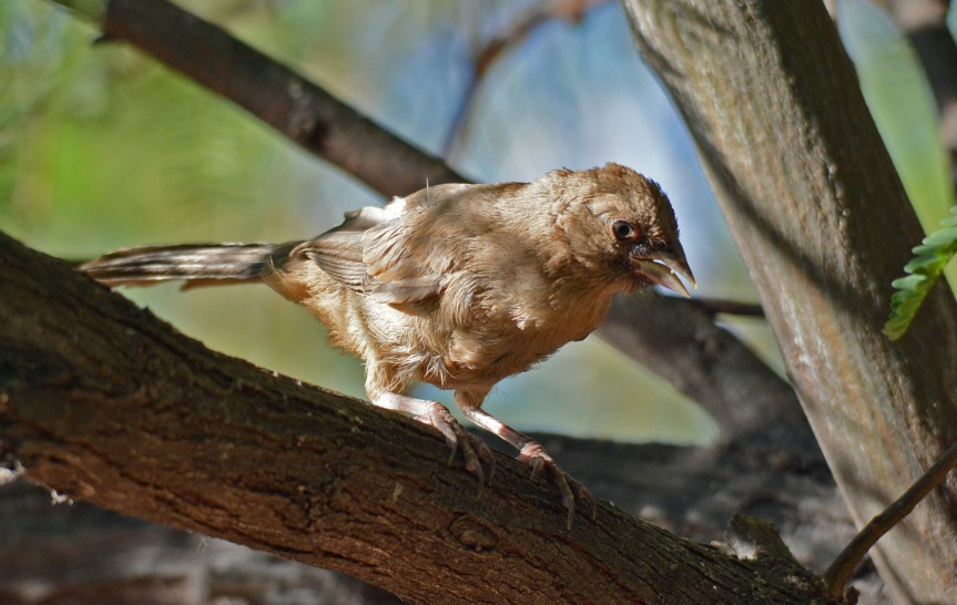 Young Towhee 2