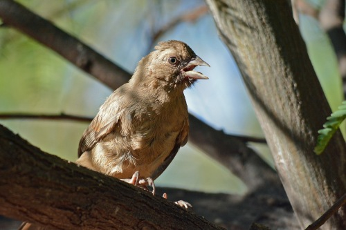 Young Towhee 3