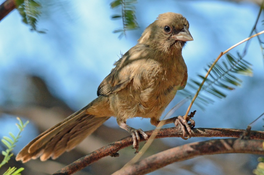 Young Towhee