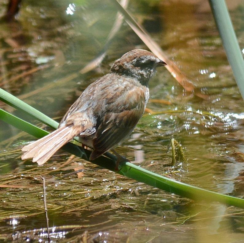 DHR Sparrow
