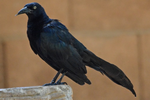 Grackle Boy 2