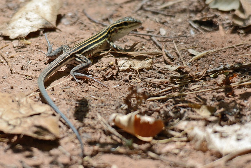 Lizard DHR
