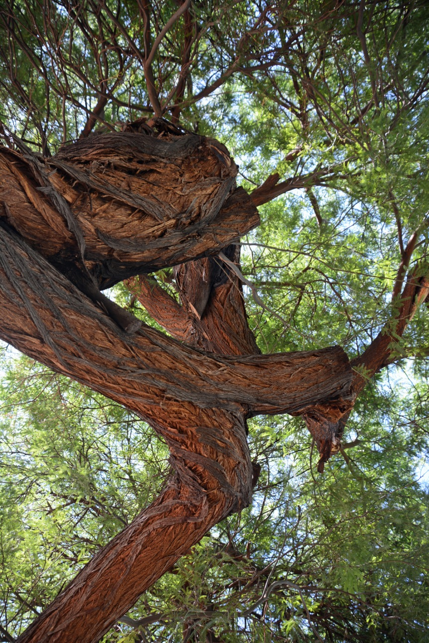 Mesquite Tangle 2