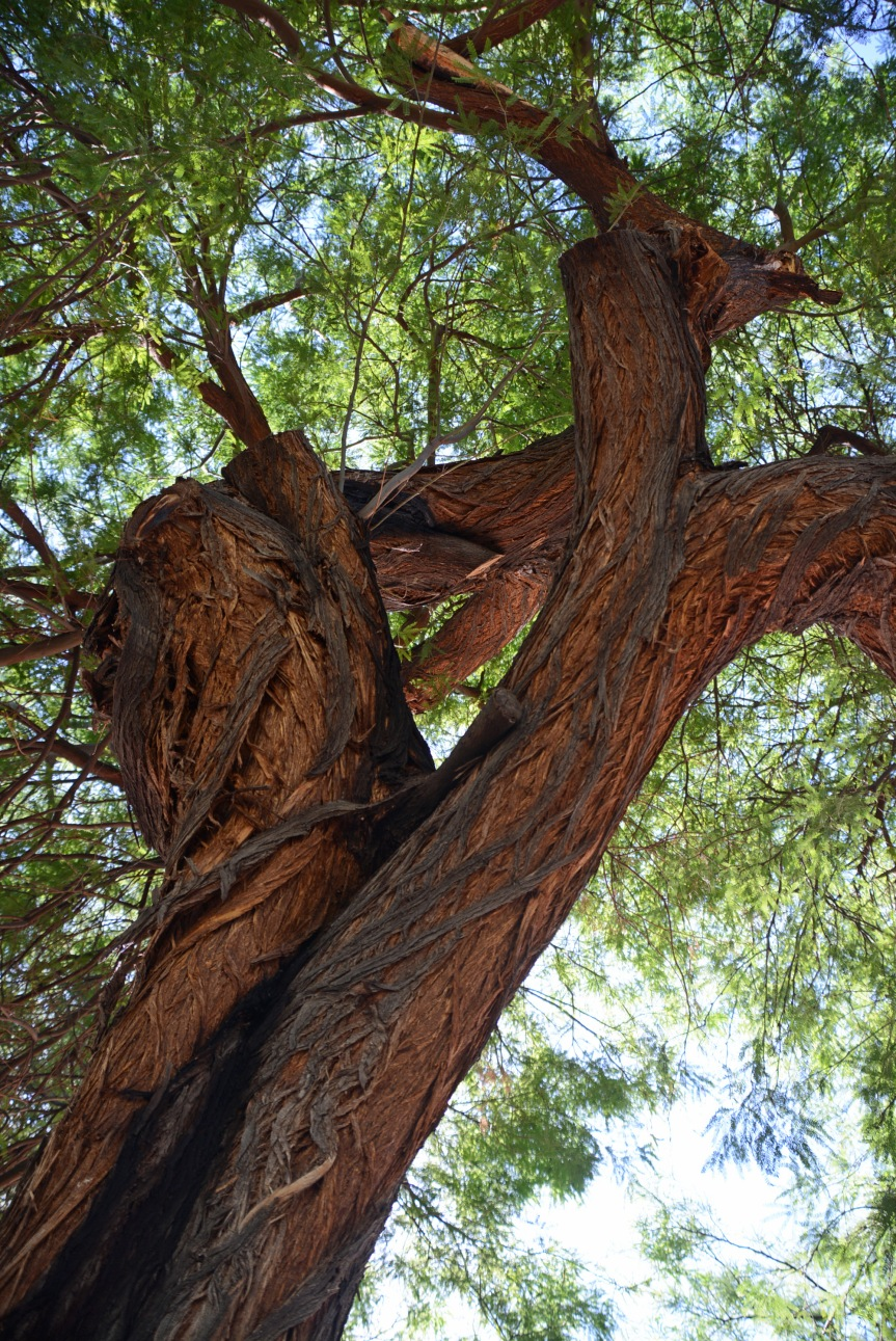 Mesquite Tangle 3