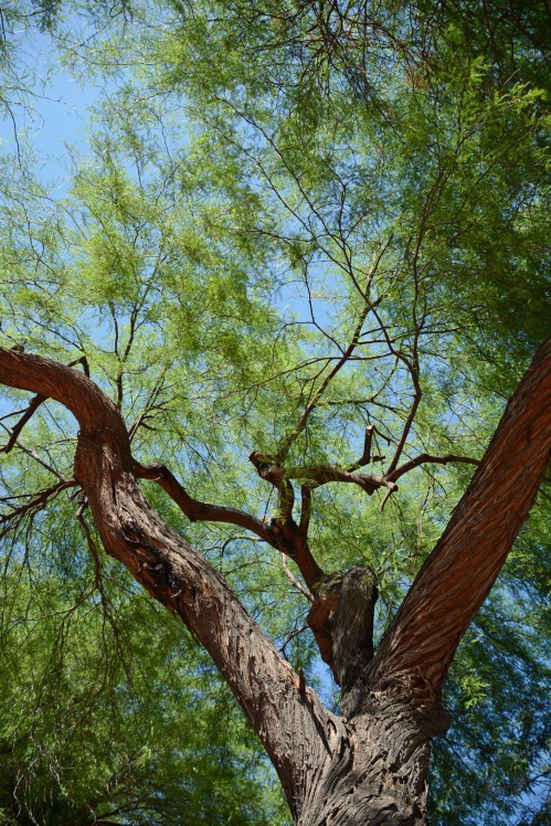 Mesquite Tangle 4