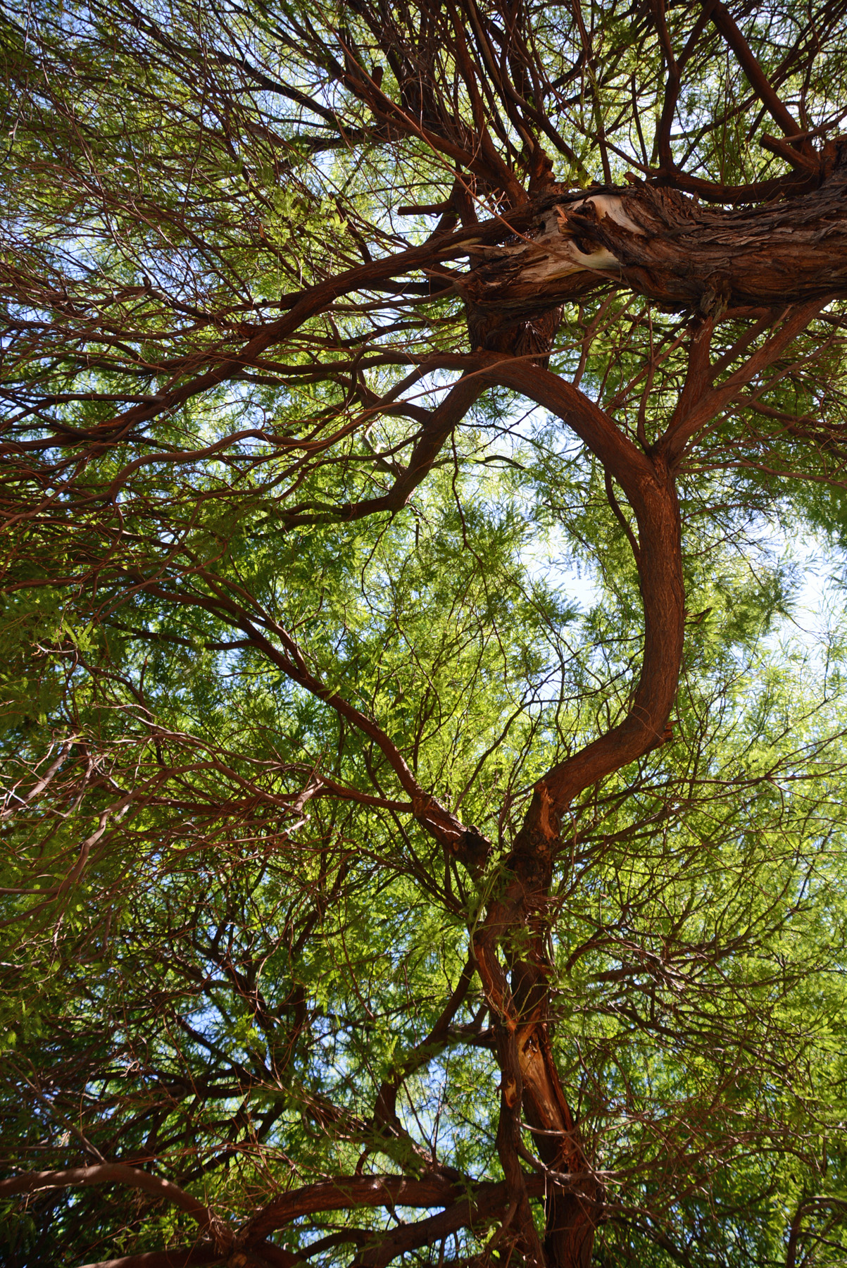 Mesquite Tangle