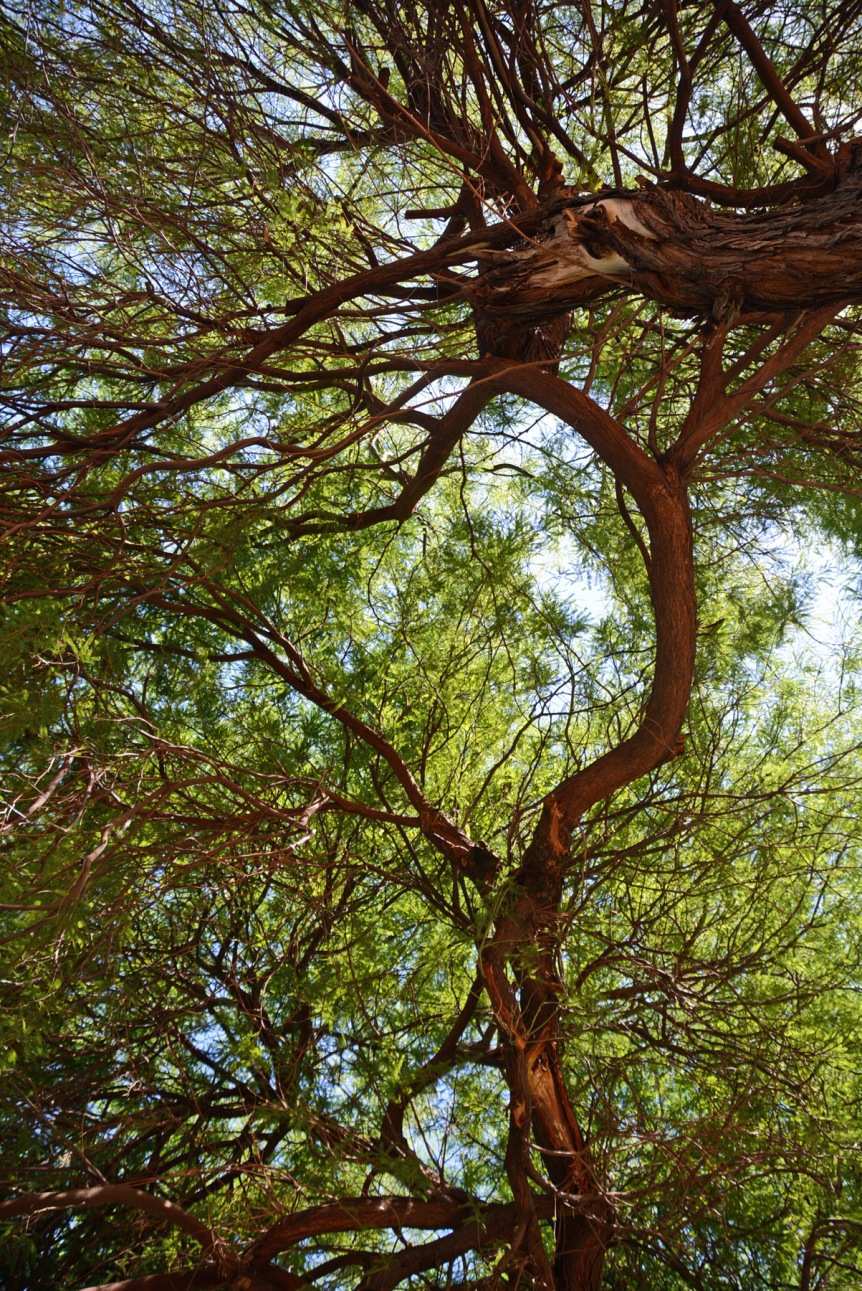 Mesquite Tangle