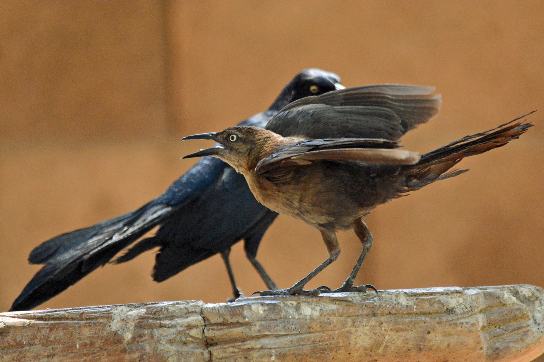 Mr and Mrs Grackle