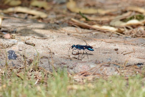 Blue Mud Dauber