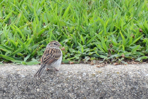 Chipping Sparrow_edited-1