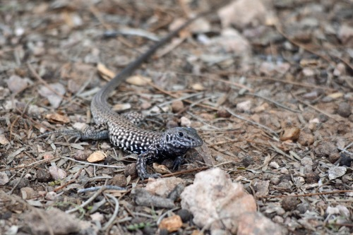 Lizard DBG