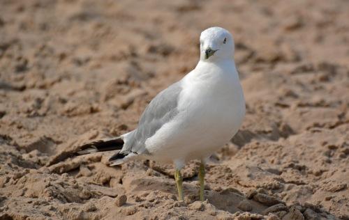 RB Gull
