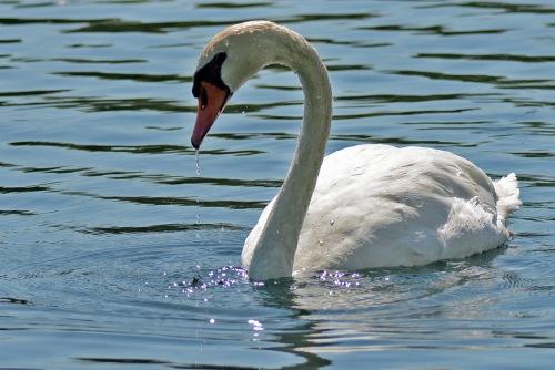 Swan 7.31.16